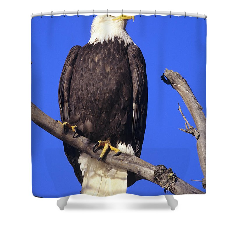 Alaska Shower Curtain featuring the photograph Perched Bald Eagle by John Hyde - Printscapes