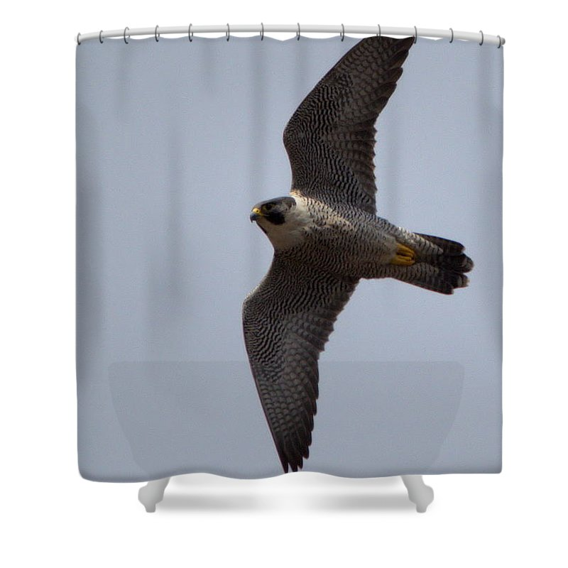 Falcon Shower Curtain featuring the photograph Peregrine Falcon IIi by Harry Moulton