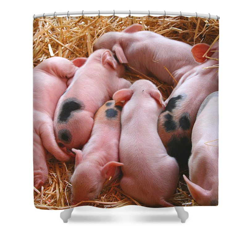Piglets Shower Curtain featuring the photograph Piglets by Sally Bauer