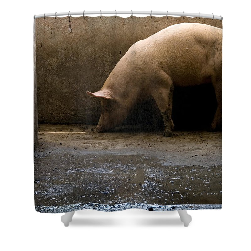 Photography Shower Curtain featuring the photograph Pigs At A Hog Farm In Kansas by Joel Sartore
