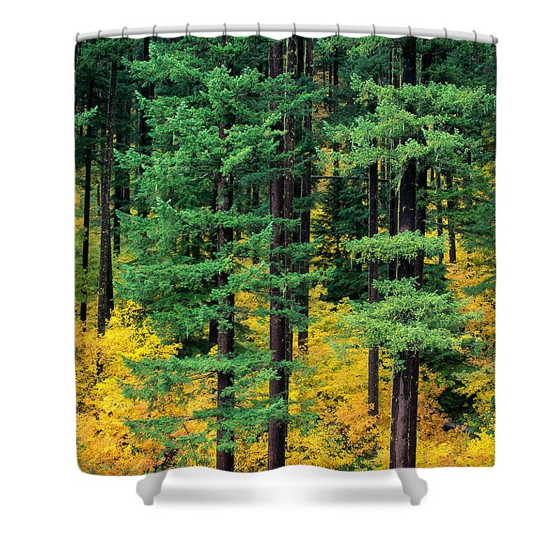 Afternoon Shower Curtain featuring the photograph Pine Trees In Autumn by Carl Shaneff - Printscapes