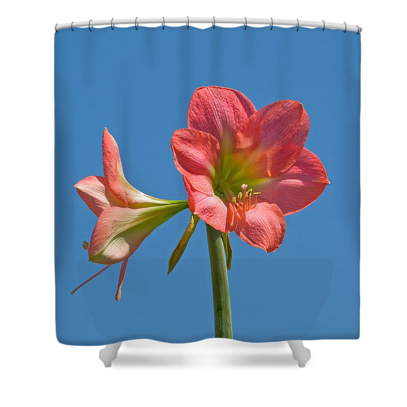Hippeastrum; Amaryllidaceae; Belladonna; Lily; Amaryllis; Flower; Flowering; Plant; Bulb; Pot; Garde Shower Curtain featuring the photograph Pink Amaryllis Flowering In Spring by Allan Hughes