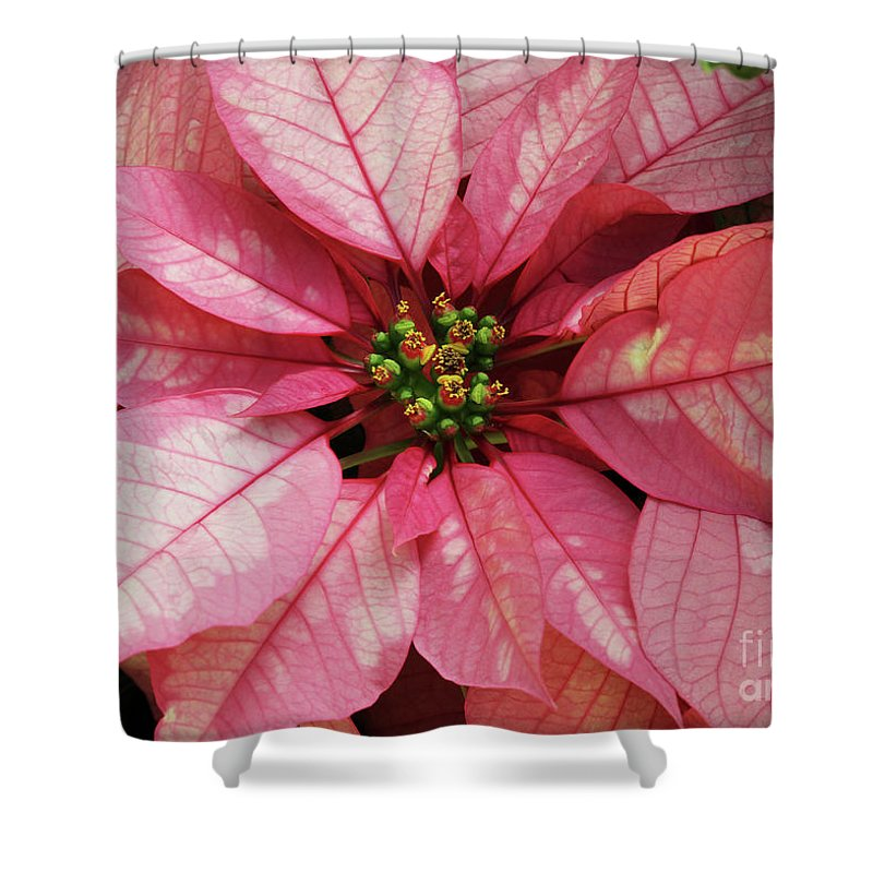 Poinsettia Shower Curtain featuring the photograph Pink And White Poinsettia by Judy Whitton