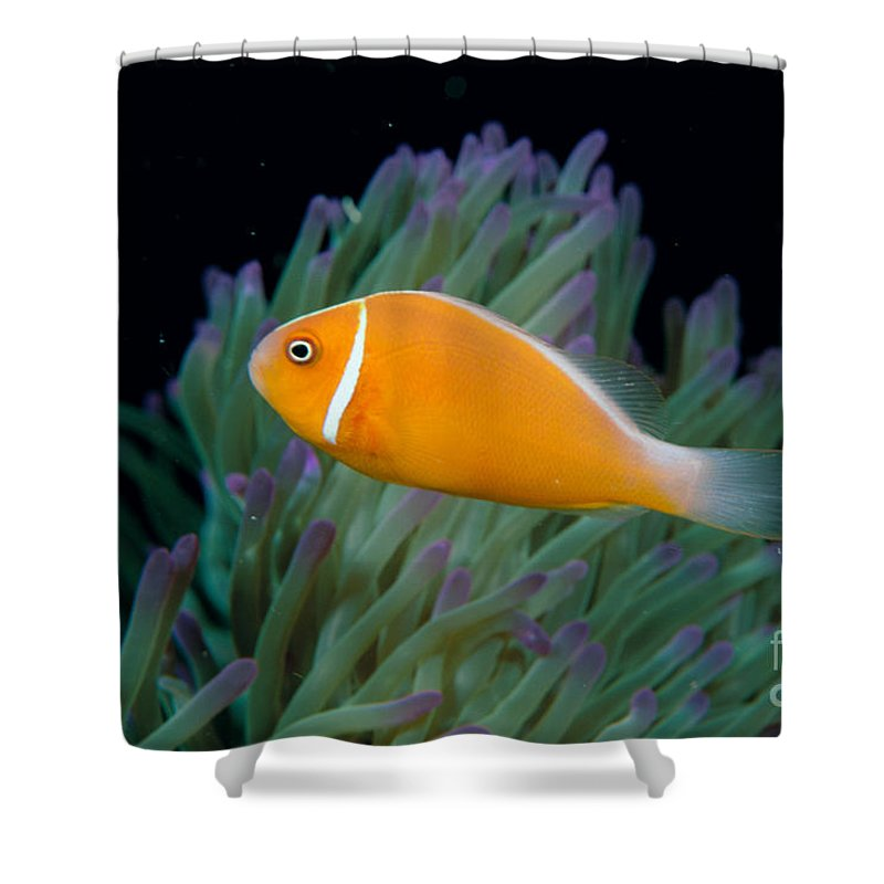 Amphiprion Shower Curtain featuring the photograph Pink Anemonefish by Dave Fleetham - Printscapes