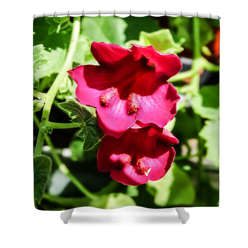 Pink Creeping Gloxinia Shower Curtain featuring the photograph Pink Creeping Gloxinia by Cynthia Woods