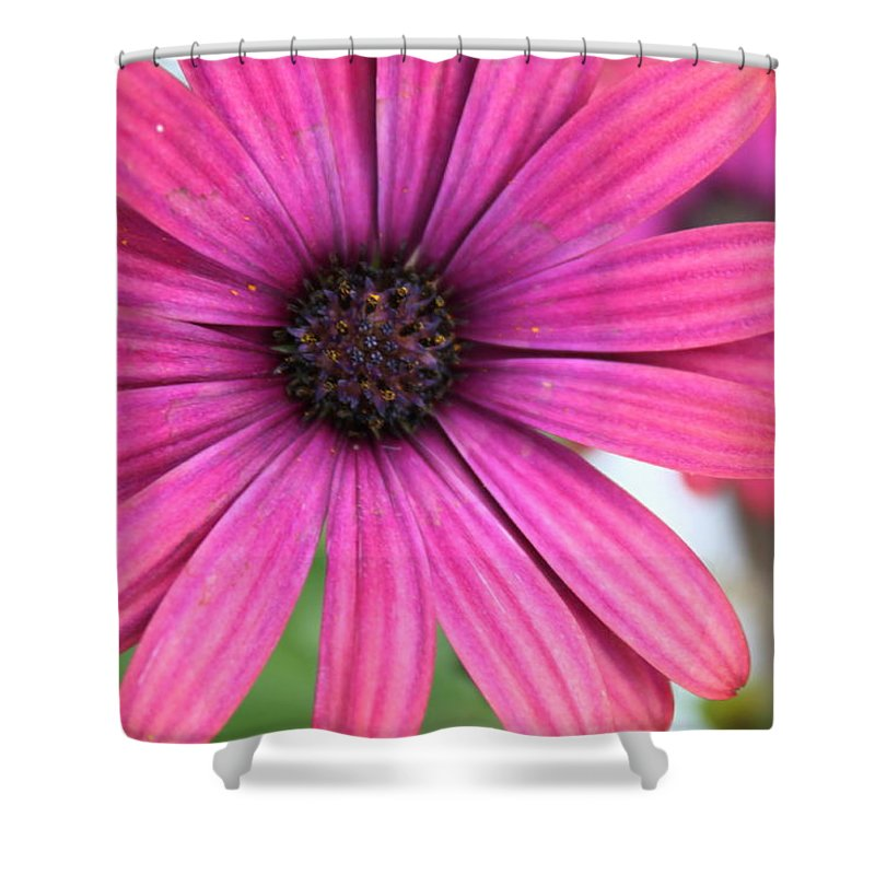 Daisy Shower Curtain featuring the photograph Pink Daisy by Lauri Novak