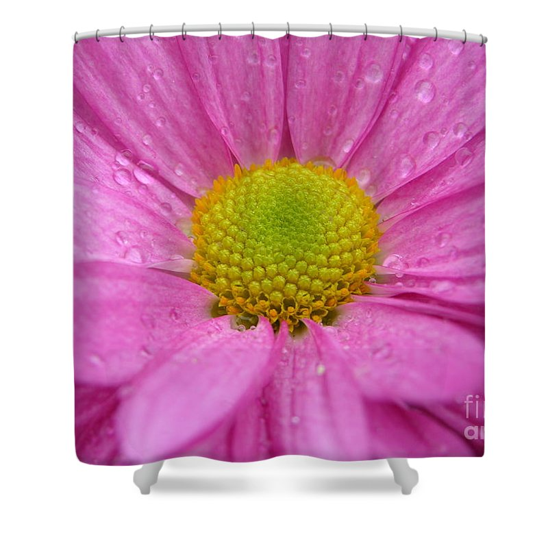 Pink Daisy Shower Curtain featuring the photograph Pink Daisy With Raindrops by Carol Groenen