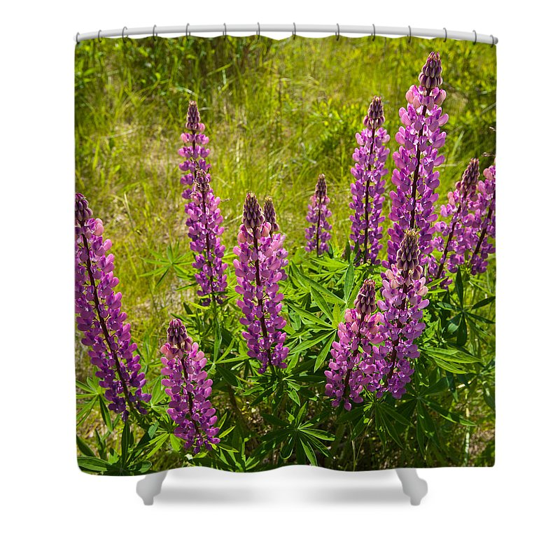 Wildflowers Shower Curtain featuring the photograph Pink Lupins by Irwin Barrett