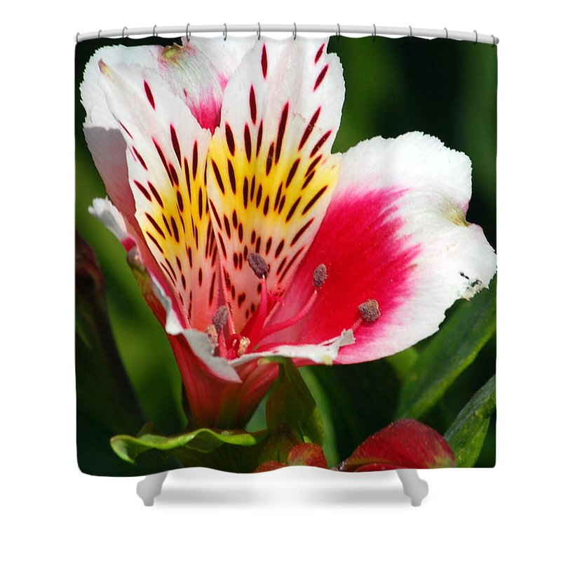 Peruvian Shower Curtain featuring the photograph Pink Peruvian Lily 1 by Amy Fose
