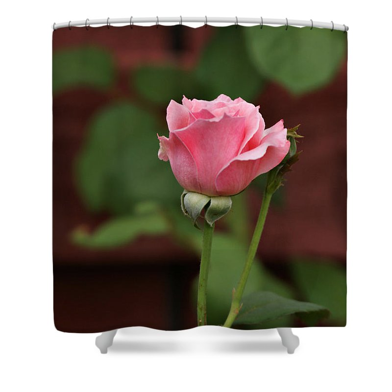 Rose Shower Curtain featuring the photograph Pink Rose In The Garden by Sandy Keeton