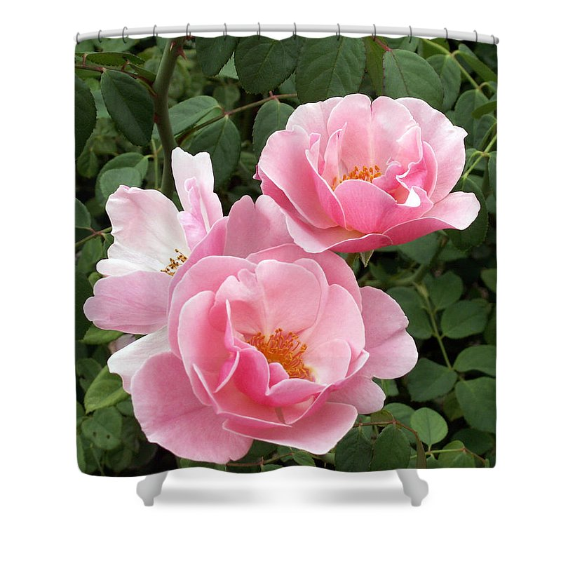 Roses Shower Curtain featuring the photograph Pink Roses 1 by Amy Fose