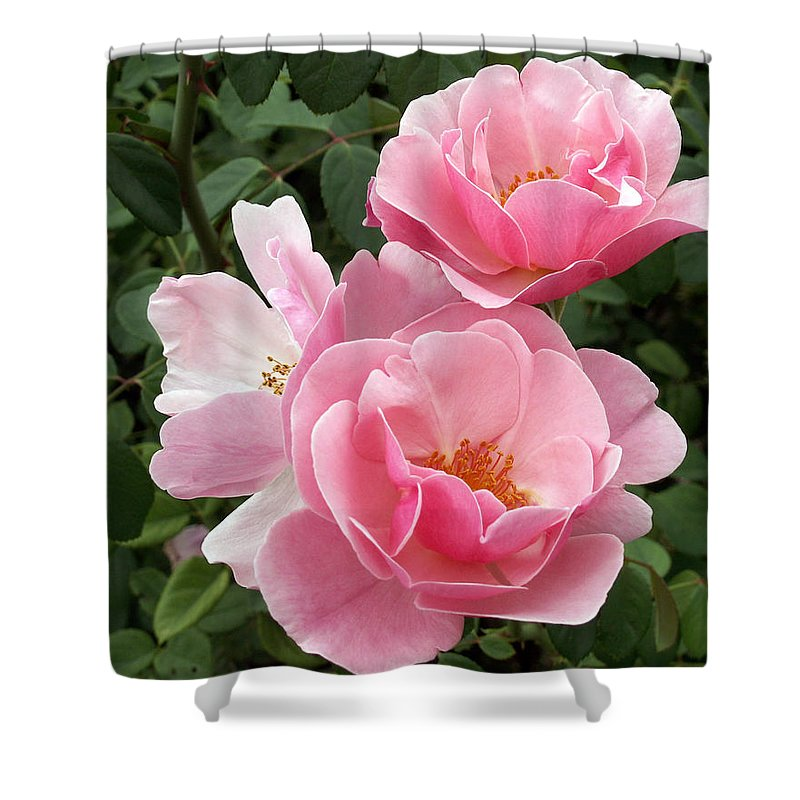 Pink Roses Shower Curtain featuring the photograph Pink Roses 2 by Amy Fose