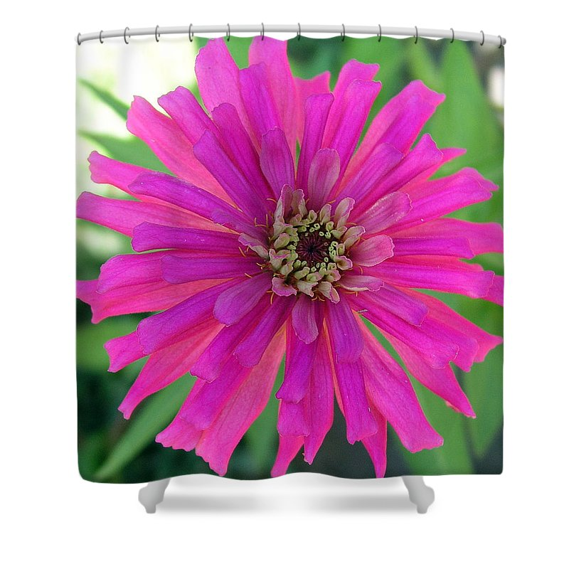 Zinnia; Flower; Pink; Translucent; Transparent; Florida; Petals; Garden; Zinnia; Agustifolia; Flower Shower Curtain featuring the photograph Pink Zinnia In Florida by Allan Hughes
