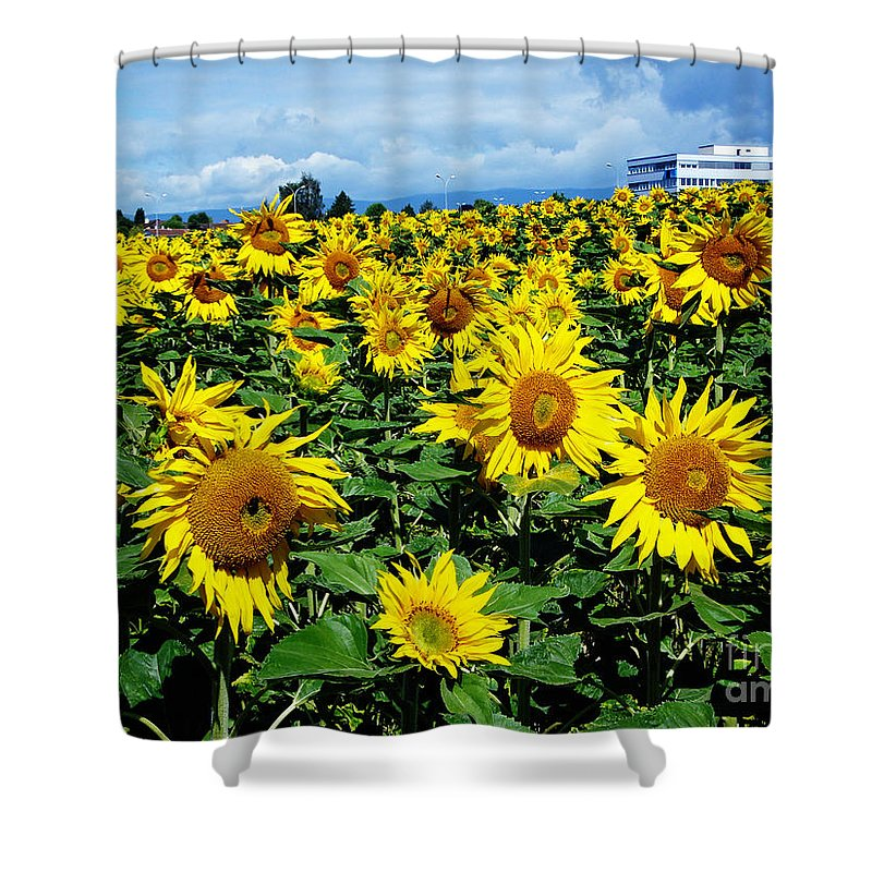 Sunflowers Shower Curtain featuring the photograph Pleasant Warmth by Jeff Barrett