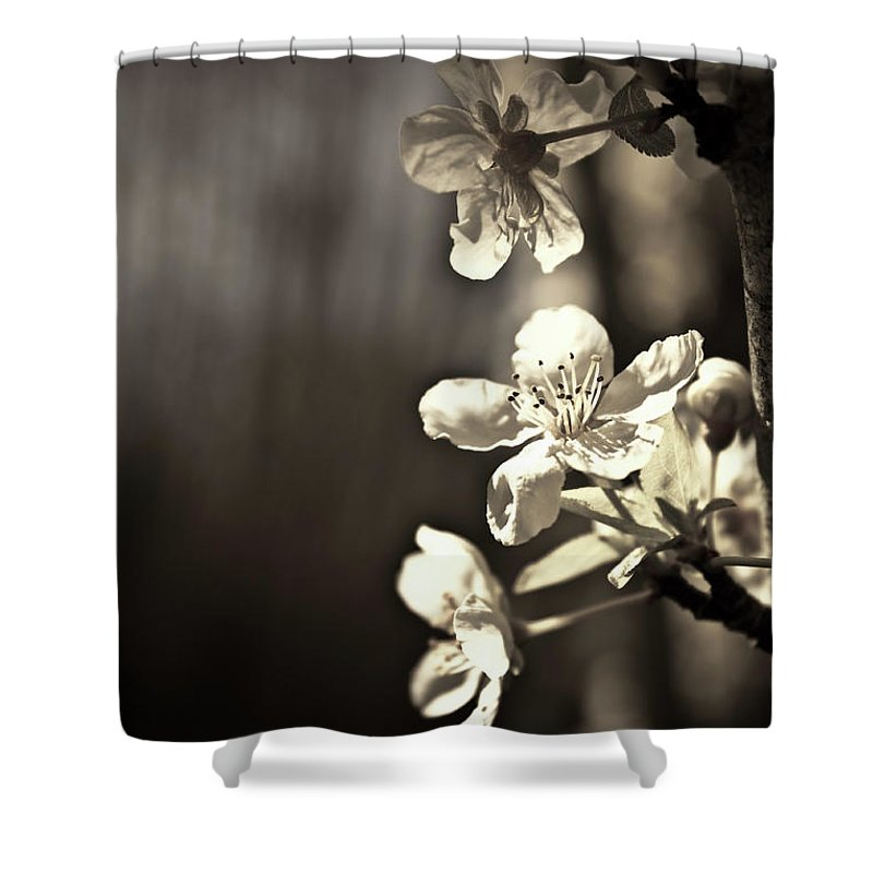 Plum Blossoms Shower Curtain featuring the photograph Plum Blossoms by Danielle Silveira