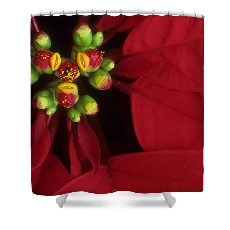 Poinsettia Shower Curtain featuring the photograph Poinsettia by Laurie Paci