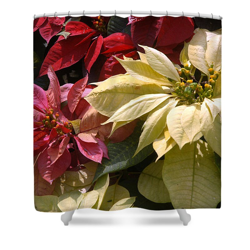 Doi Tung Palace Shower Curtain featuring the photograph Poinsettias At Doi Tung Palace by Anne Keiser