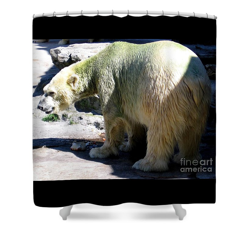 Polar Bear Shower Curtain featuring the photograph Polar Bear 2 by Rose Santuci-Sofranko
