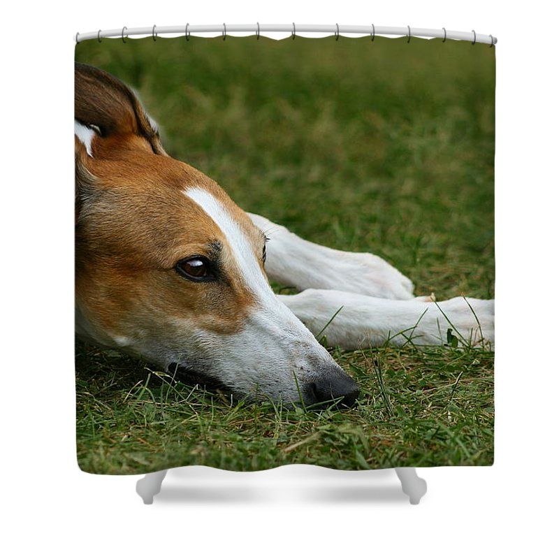 Editorial Shower Curtain featuring the photograph Portrait Of A Greyhound - Soulful by Angela Rath