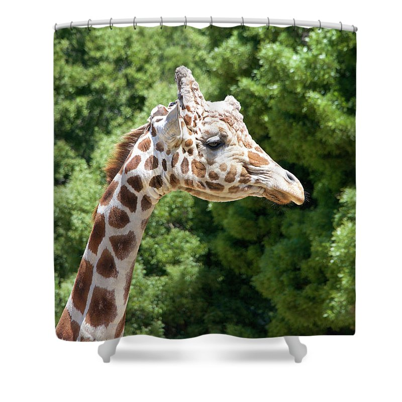 African Shower Curtain featuring the photograph Profile Of A Giraffe by Sheila Fitzgerald
