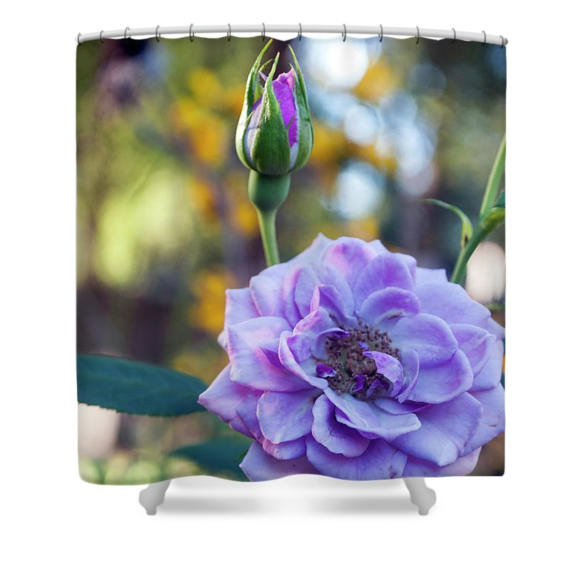 Colorful Shower Curtain featuring the photograph Purple Rose Glow by Jeremy Hill
