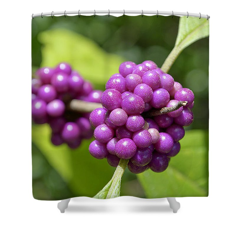 Beautyberry Shower Curtain featuring the photograph Purple Beautyberries by Kenneth Albin