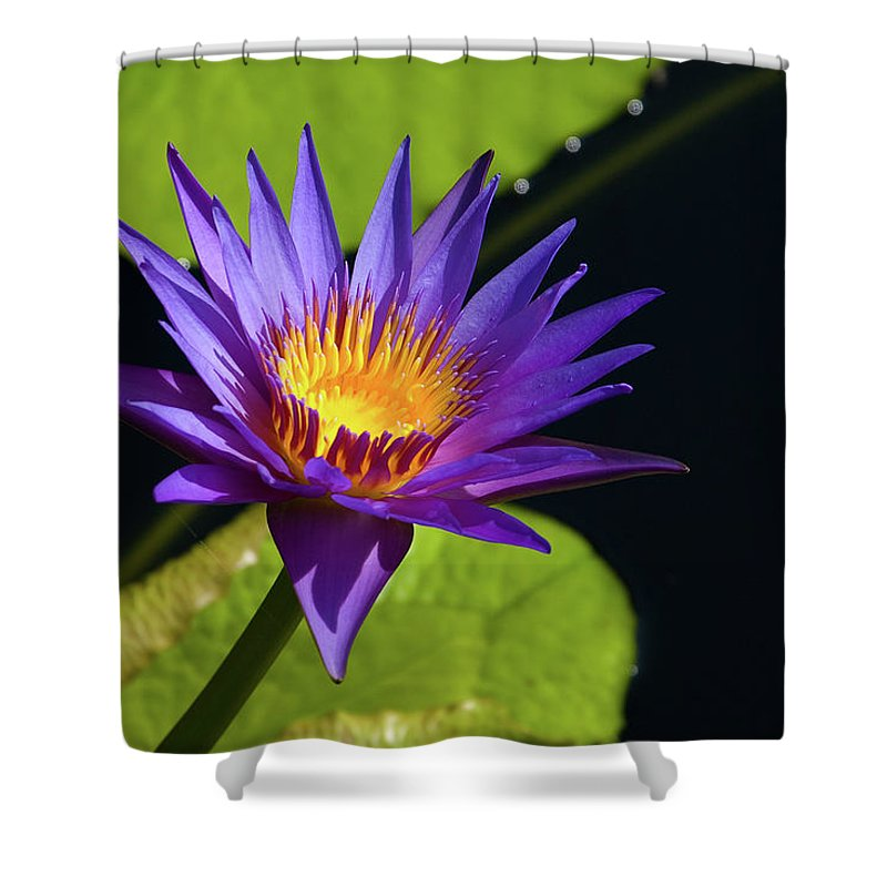 Water Lily Shower Curtain featuring the photograph Purple Gold by Steve Stuller