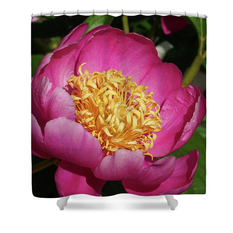 Peonies Shower Curtain featuring the photograph Purple Peony by Cate Franklyn