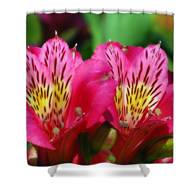 Peruvian Shower Curtain featuring the photograph Purple Peruvian Lily by Amy Fose