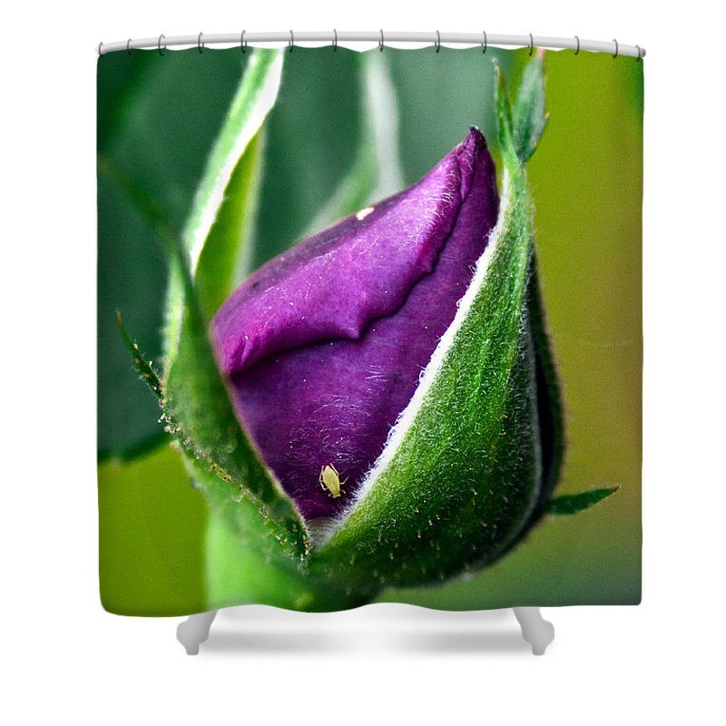 Rose Shower Curtain featuring the photograph Purple Rose Bud by Christopher Holmes
