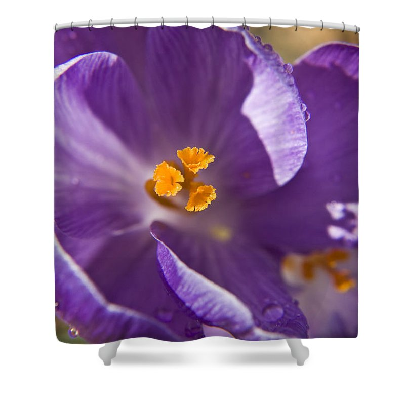 Crocus Shower Curtain featuring the photograph Purple Spring Crocus by Teresa Mucha