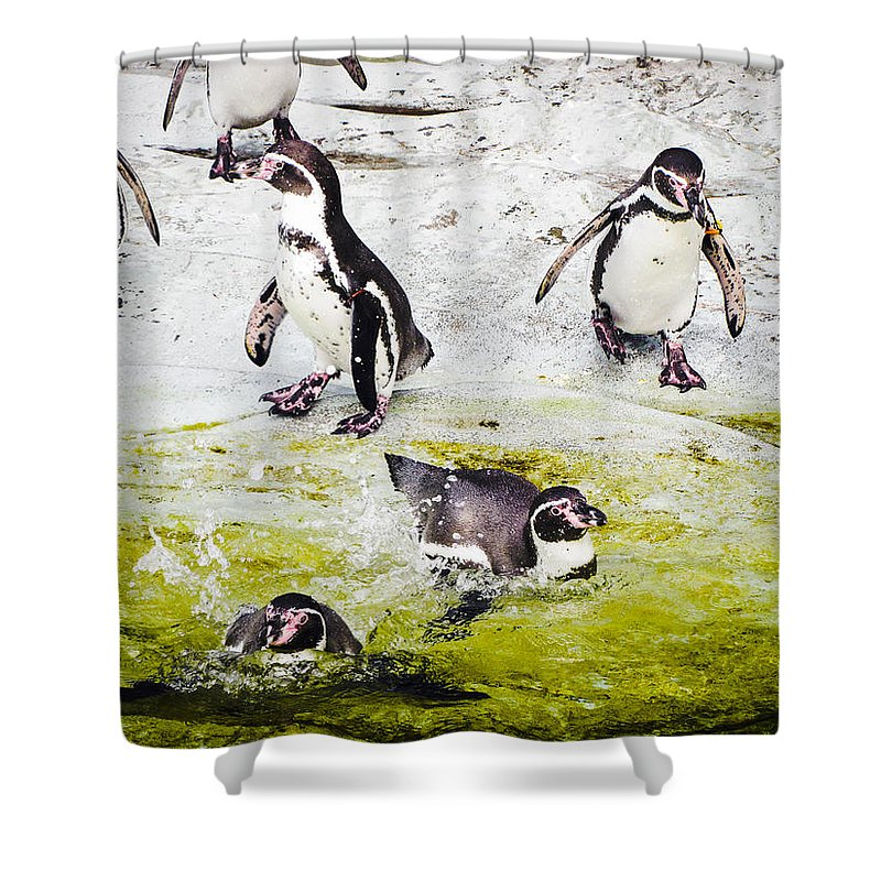 Penguins Shower Curtain featuring the photograph Quick Dip by Christina Zizzo
