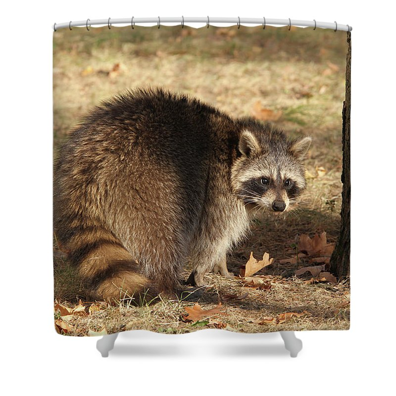 Raccoon Shower Curtain featuring the photograph Raccoon #4 by Judy Whitton