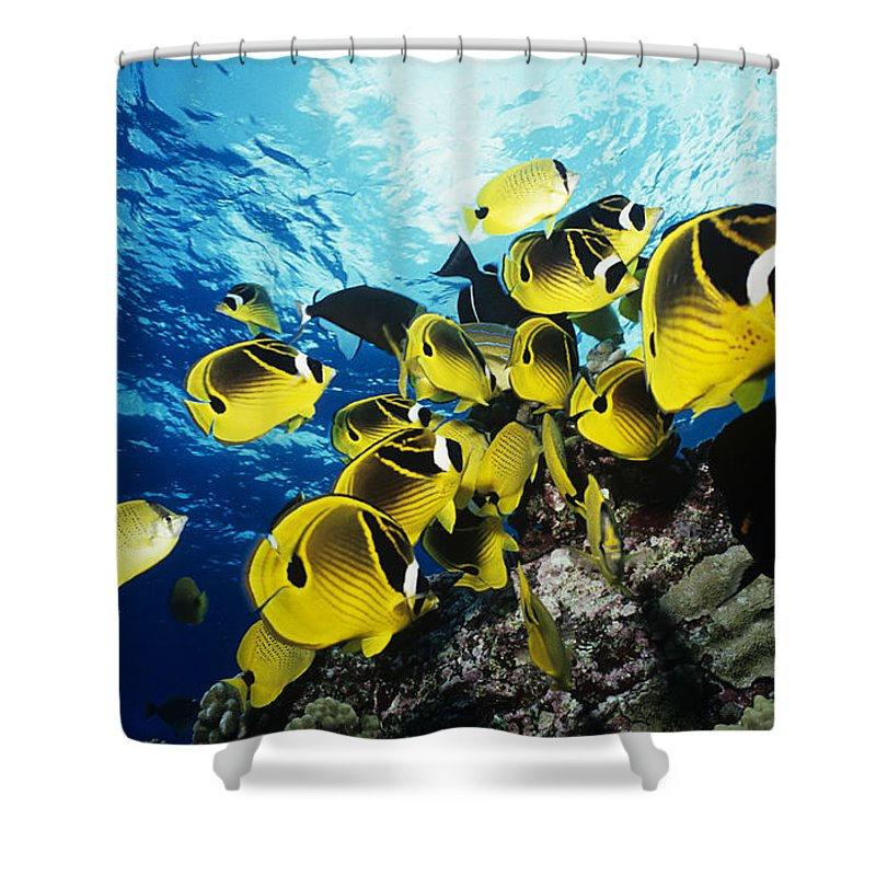 Animal Art Shower Curtain featuring the photograph Raccoon Butterflyfish by Ed Robinson - Printscapes