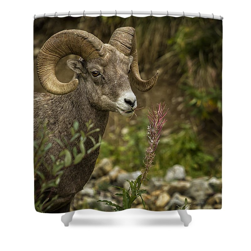 Big Horn Sheep Shower Curtain featuring the photograph Ram Eating Fireweed by Belinda Greb