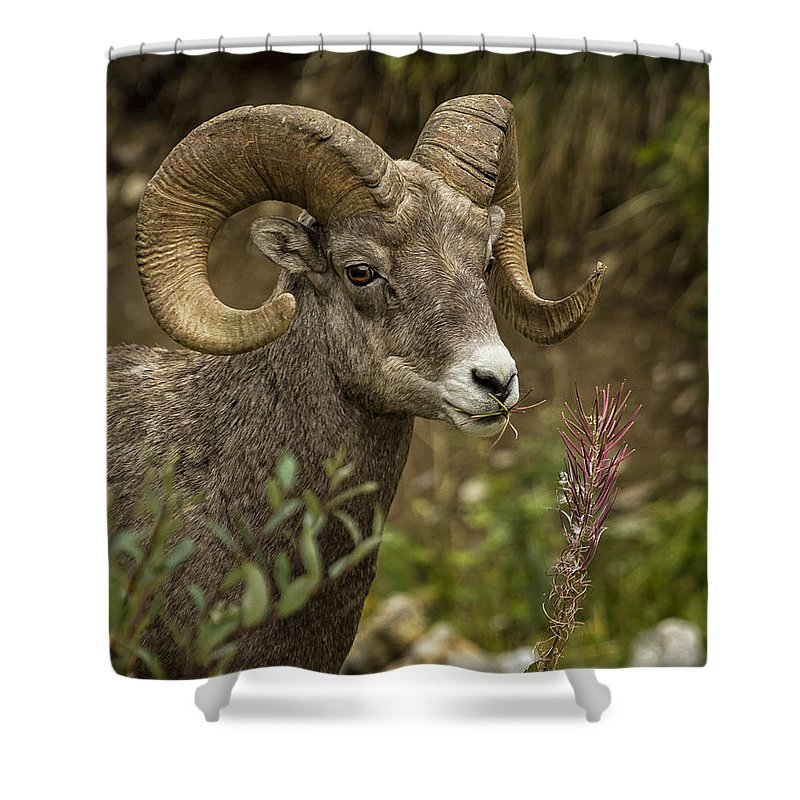 Big Horn Sheep Shower Curtain featuring the photograph Ram Eating Fireweed Cropped by Belinda Greb