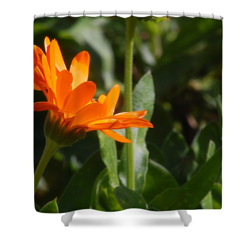 Orange Daisy Shower Curtain featuring the photograph Reach For The Sun 2 by Amy Fose