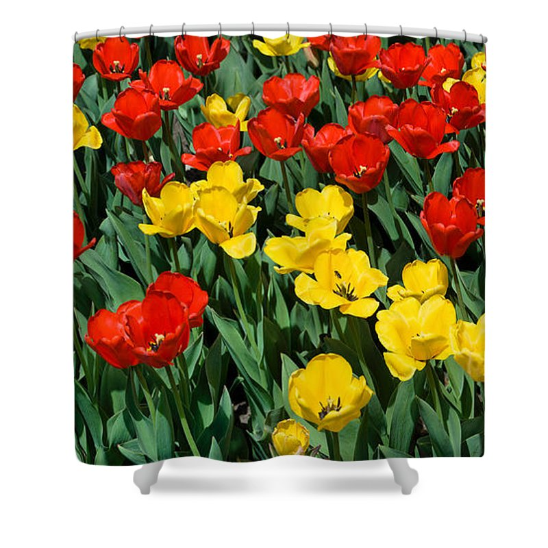 Red Shower Curtain featuring the photograph Red And Yellow Tulips Naperville Illinois by Michael Bessler