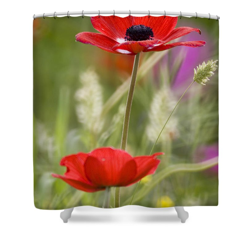 Red Shower Curtain featuring the photograph Red Anemone Coronaria In Nature by Ofer Zilberstein