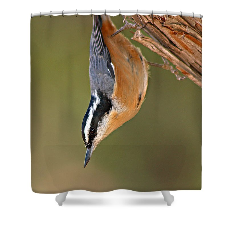 Nuthatch Shower Curtain featuring the photograph Red-breasted Nuthatch Upside Down by Max Allen