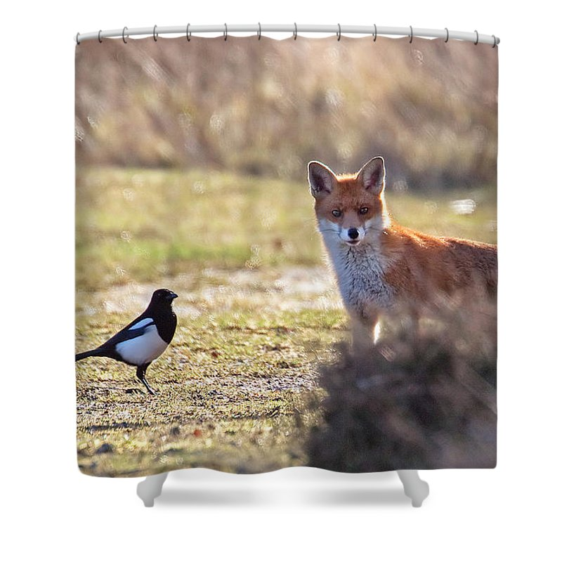 Magpie Shower Curtain featuring the photograph Red Fox And Magpie by Bob Kemp