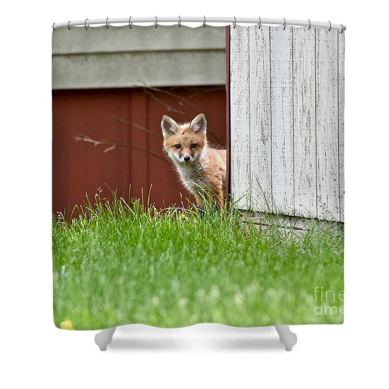 Animal Shower Curtain featuring the photograph Red Fox Kit Peaking Around Old Barn by Jeramey Lende