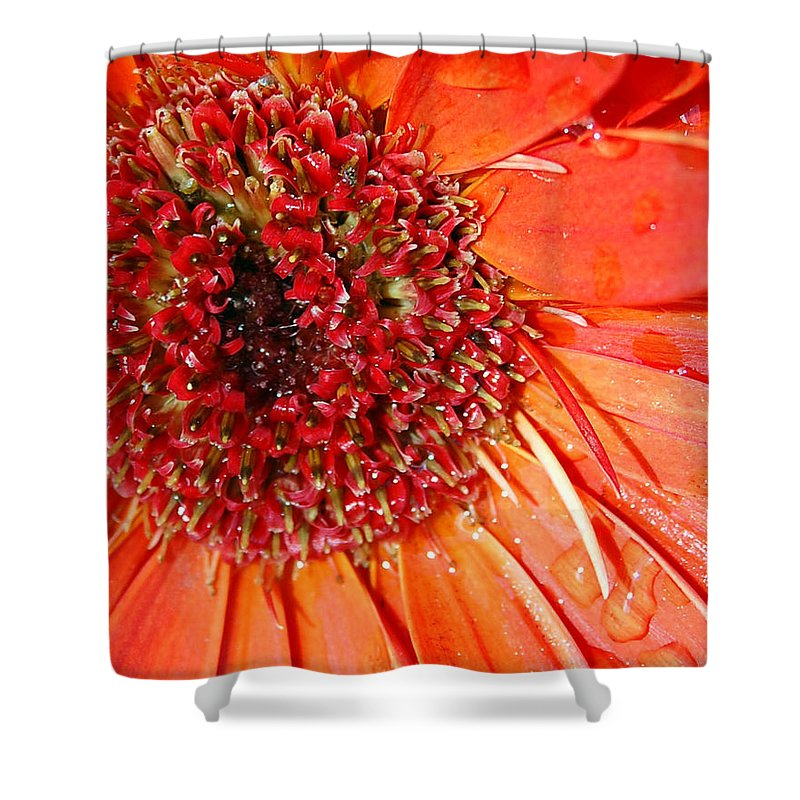 Gerber Daisy Shower Curtain featuring the photograph Red Gerbera Daisy by Amy Fose