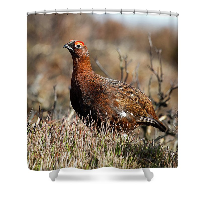 Red Grouse Shower Curtain featuring the photograph Red Grouse by Bob Kemp