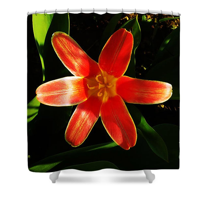 Tulip Shower Curtain featuring the photograph Red Laughing At Me by Jasna Dragun
