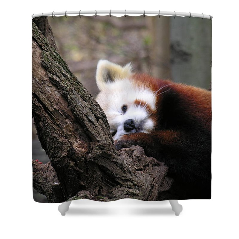 Red Shower Curtain featuring the photograph Red Panda by Diane Greco-Lesser