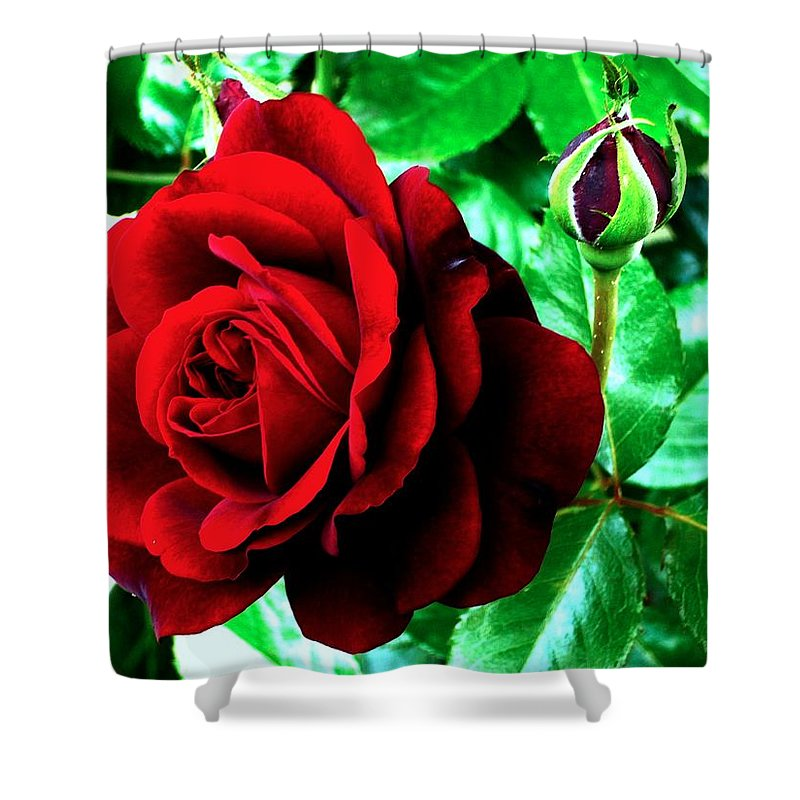 Shower Curtain featuring the photograph red Rose by Helmut Rottler