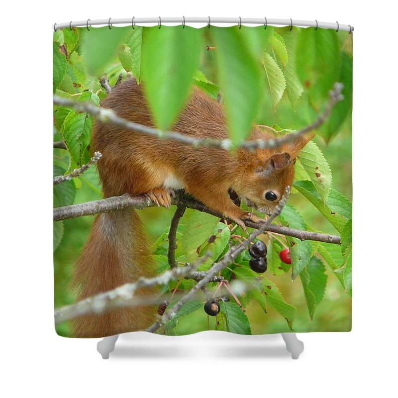 Animal Shower Curtain featuring the photograph Red Squirrel In The Cherry Tree by Valerie Ornstein