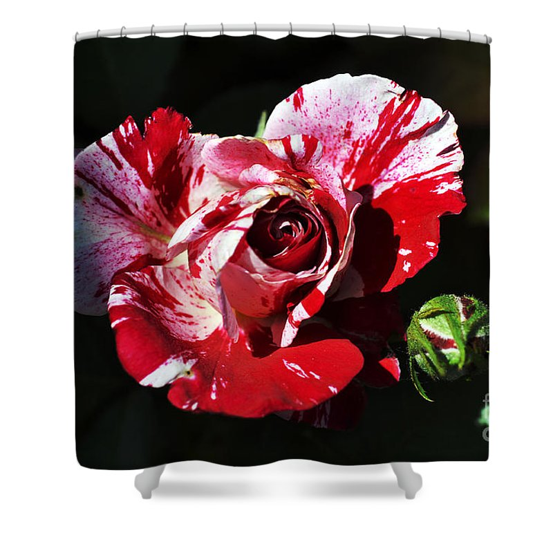 Clay Shower Curtain featuring the photograph Red Verigated Rose by Clayton Bruster