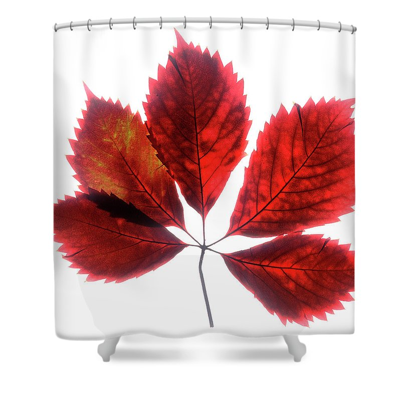 Leaf Shower Curtain featuring the photograph Red Vine Leaf by Stefania Levi